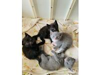 Beautiful grey and black kittens