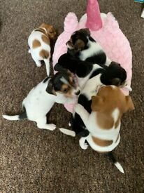 Jack Russell Puppies 2 boys and 1 girl left