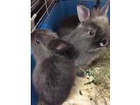 Netherland Dwarf x Lionhead Mix bunnies NEED TO GO URGENTLY