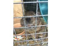 2 lovely Degu's with cage
