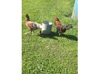 Chickens cross breeds
