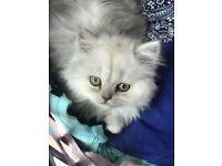 Rare Tipped British Shorthaired Variant Kitten