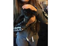 Ragdoll cross kittens