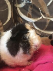 One year old Guinea pig