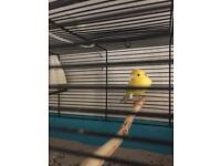 Waterslager canary for sale 2 male