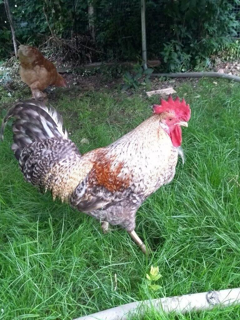 Pure Legbar Chickens | in Chertsey, Surrey | Gumtree