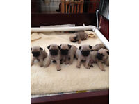 Stunnning Silver Fawn Pug Puppies