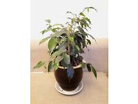 Ficus benjamina weeping fig plant