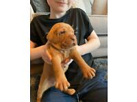 WIREHAIRED Hungarian Vizsla pups