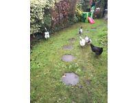 5 Lovely hens for sale