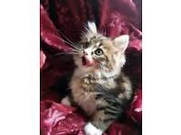 Chinchilla Persian kittens for sale 1 boy left