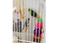 Indian Ringneck Parrots For Sale Grey &Green Pair Included Cage And Toys
