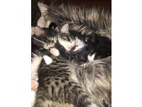 4 Friendly Fluffy Kittens. (Ready end of March)