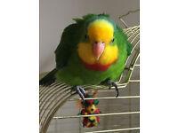 Male Barraband Parakeet