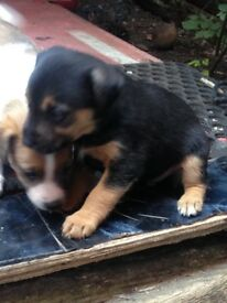 Adorable smoothed haired Full Jack Russel puppies