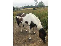 colour trotting stallion free to good home