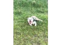 Lilac pure English bulldog