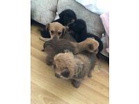 Chorkie puppies READ DESCRIPION