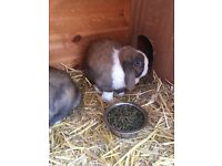 2x Lop eared rabbits. Spayed and neutered.