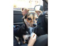 Jack Russell cross Chihuahua Female Dog
