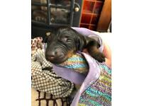 Dobermann Puppies lovingly reared for inside pet homes only