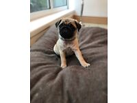 Kc pug puppies, ready to go now!!