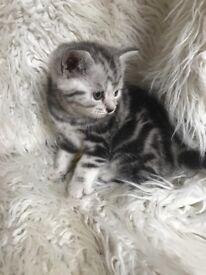 Beautiful British Shorthair Kittens GCCF Registered