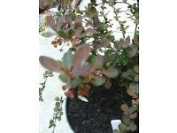 Berberis harlequin plant