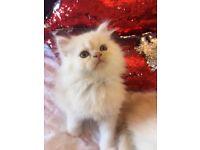 Persian kittens in Wales | Cats & Kittens for Sale - Gumtree