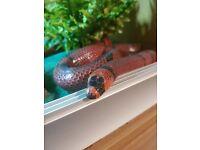 5ft Honduran Milk Snake