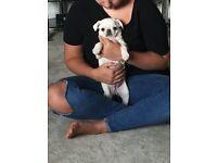 KC white pug puppys