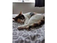 Calico kitten for rehoming