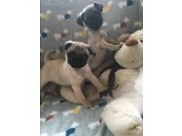 2 cheeky pug girl pups remaining