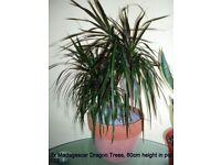 2 Madagascar Dragon Trees in Terracotta pot