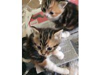 Two pretty Tabby female kittens ready end June 75.00 each