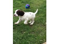 Two male English Springer Spaniels pups for sale