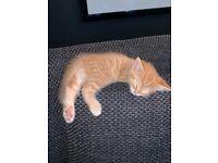 Ginger X bengal boy kitten