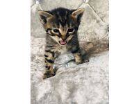 stunning maine coon/bengal kittens for sale
