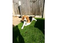 Male 9 Month Old Beagle Puppy