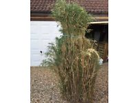 Bamboo plant 7ft tall