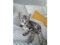 NO TIME WASTER'S PLEASE: Kitten in need of a calm loving new home & owner.