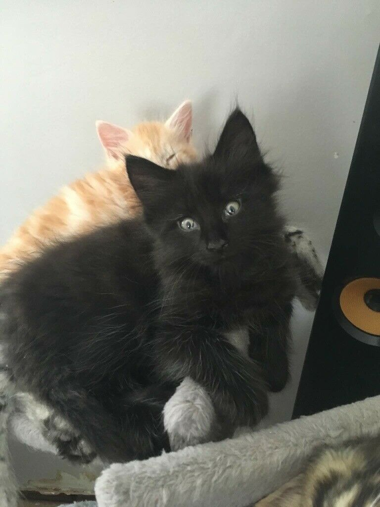 3/4 Maine Coon Kitten | in Ayr, South Ayrshire | Gumtree