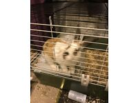 4 month old rabbit free to good home!
