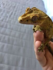 Super dalmation crested gecko with tank, heatmat and decor