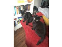 RUSSIAN BLUE MIX KITTENS READY NOW