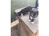 1 female kitten left (micro chipped)