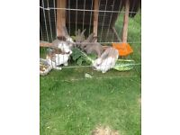 I have 4 mini Rex x mini lop rabbits for sale 1 girl and 3 boys.