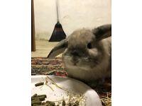 Lop eared rabbits x2 female FREE