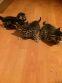 Ex bengal kitten boy and girls available