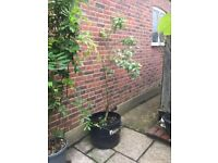 Price Reduced Further! Huge Pineapple Tree in a lovely 60 litre pot - bargain price NEED GONE ASAP